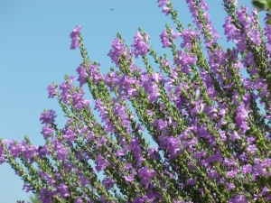 purple Texas Ranger drought Tolerant Plant