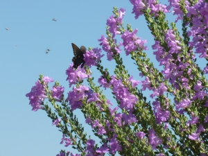texas purple flowering plant