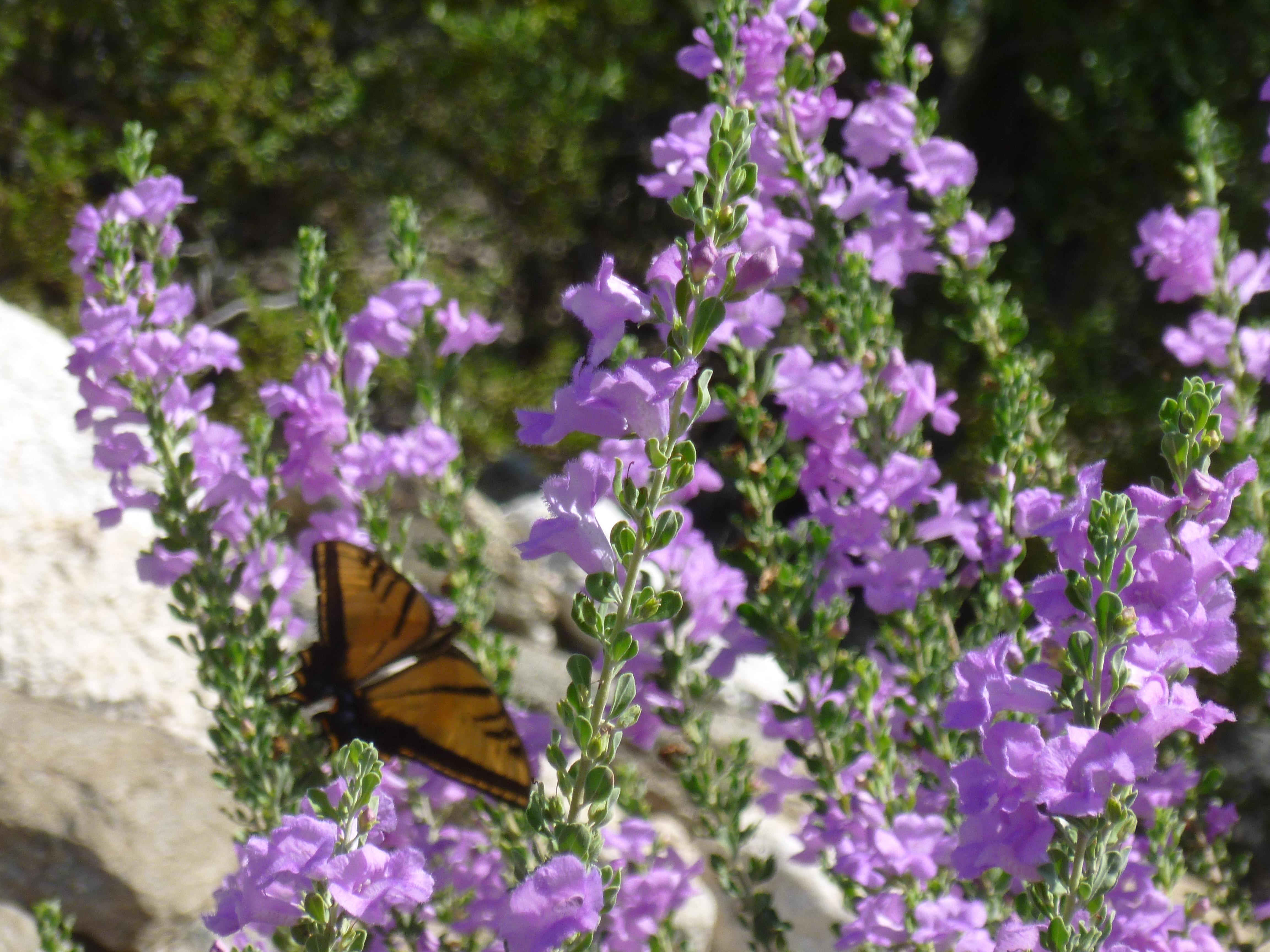Shrubs with purple flowers pictures - Purple Texas Ranger Plant Purple Flowering Shrub