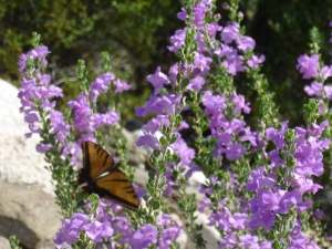 purple flowering shrub sage plant