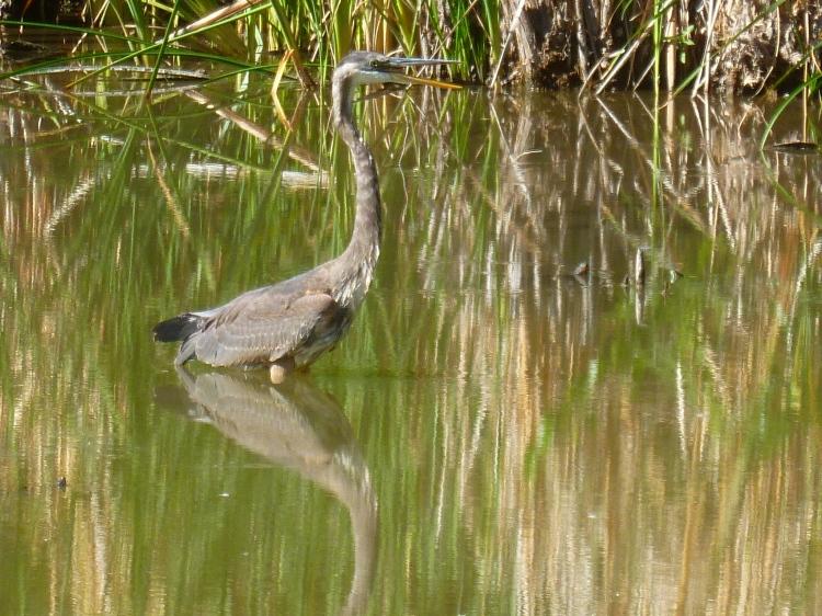 large heron wading bird