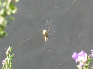 spider with big yellow belly