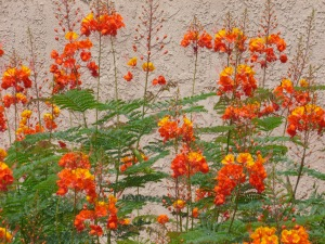 Poisonous Mexican Bird of Paradise shrub