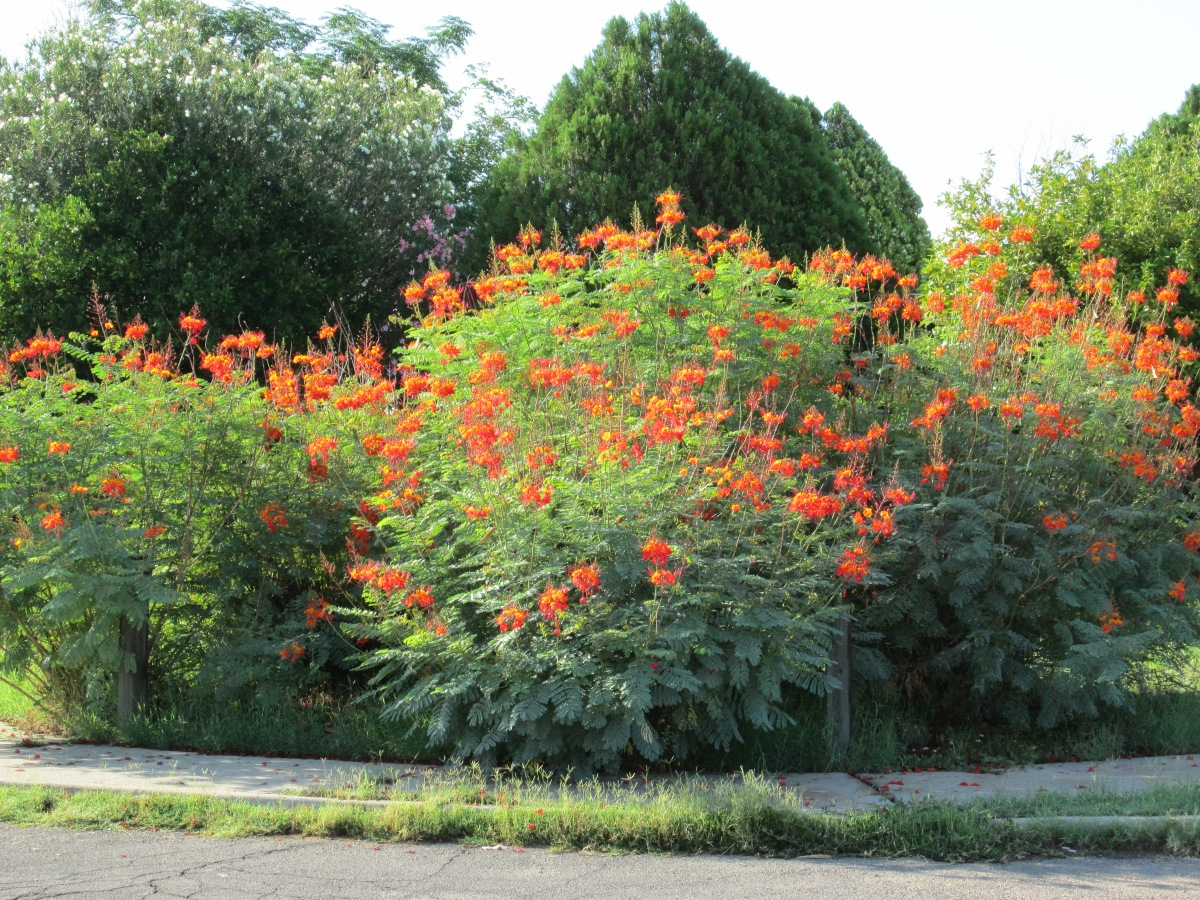 Caesalpinia pulcherrima - Germinate the seeds from the bean pods - Growing your Bird of Paradise Plant