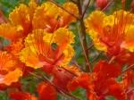Caesalpinia pulcherrima poisonous bush