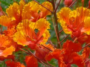 the desert Caesalpinia pulcherrima poisonous bush