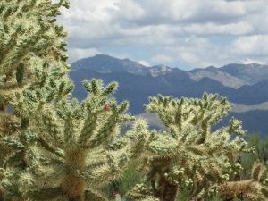 desert cactus Cholla