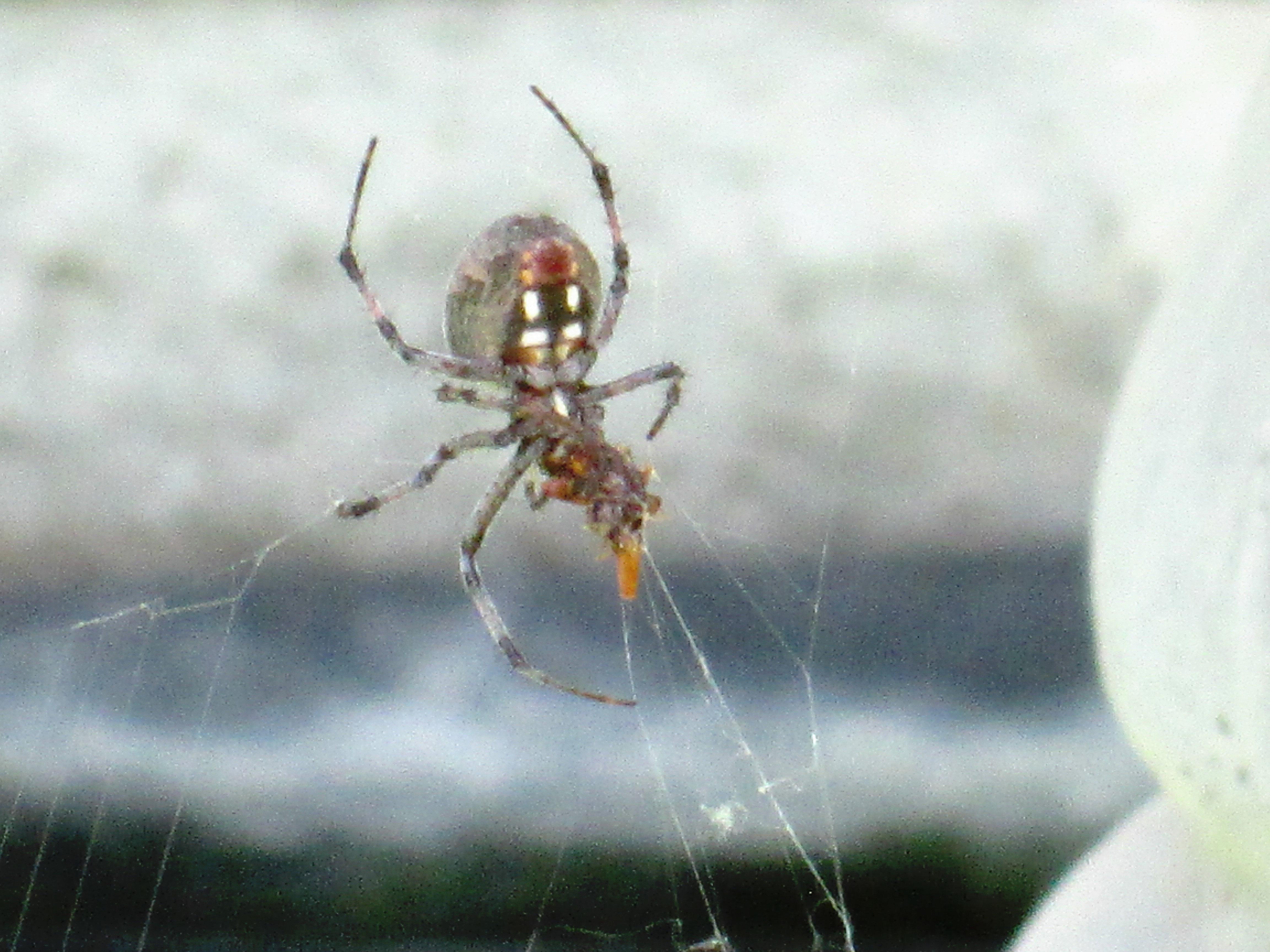 SPIDER identified in my garden – black, gray, large abdomen