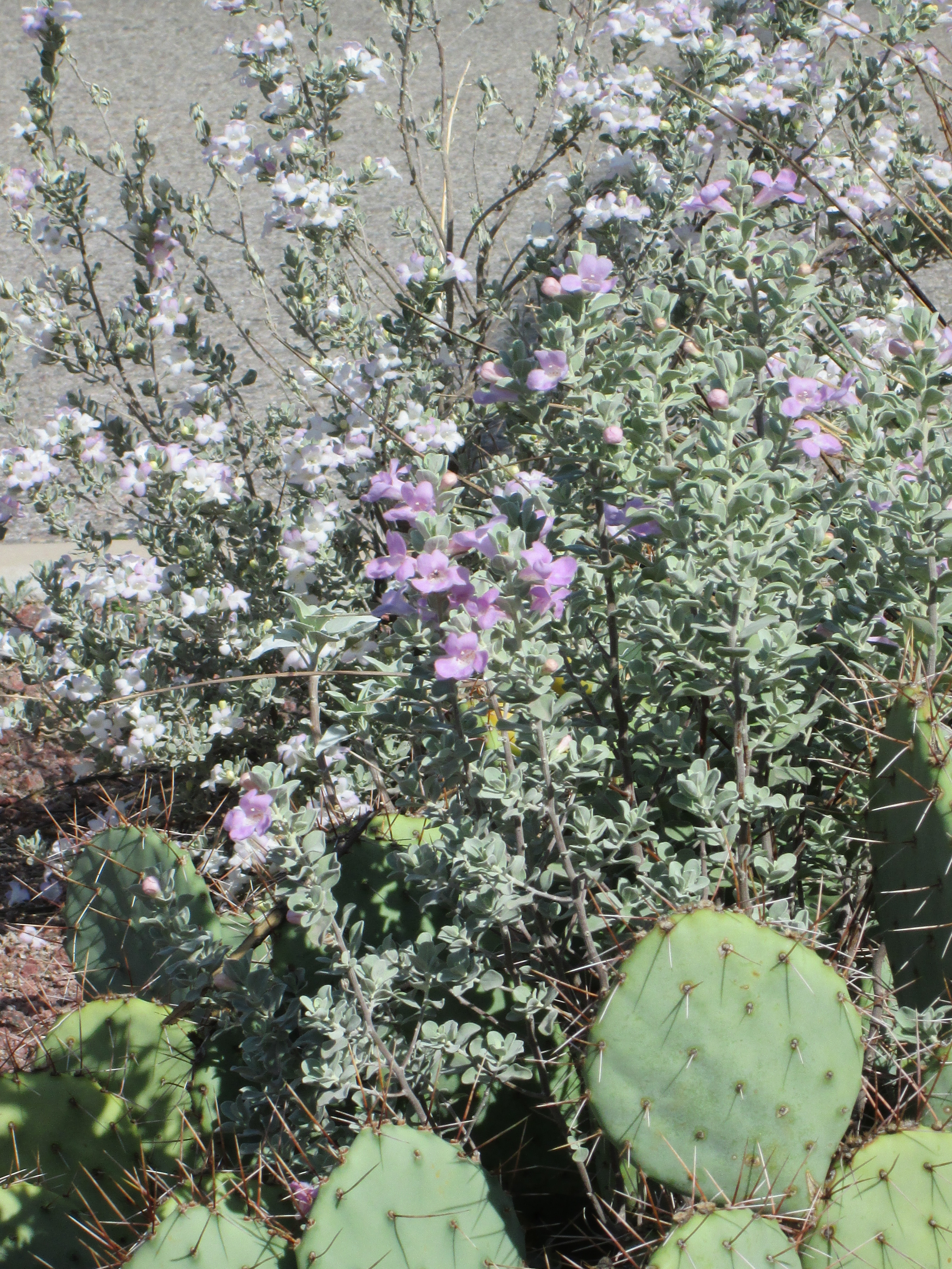 Sage With Prickley Pear Cactus