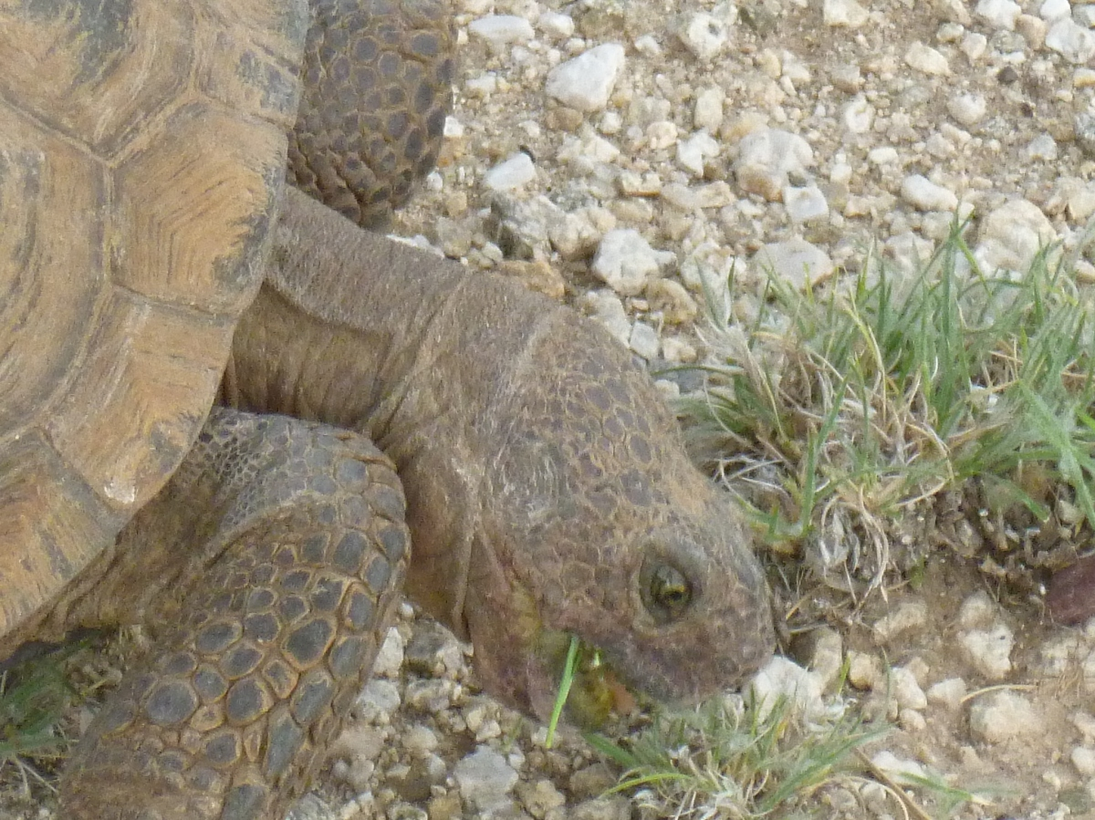 Tortoises can not swim! – Sonoran desert tortoise – adopting a tortoise as a pet