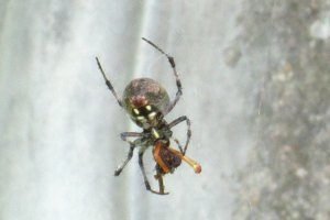 poisonous spider with large abdomen