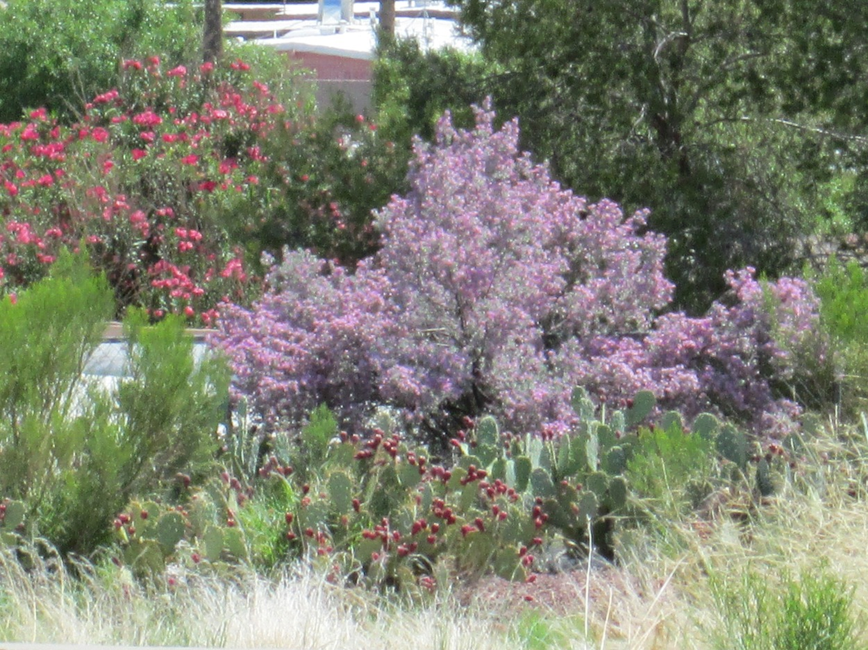 Purple sage and oleander