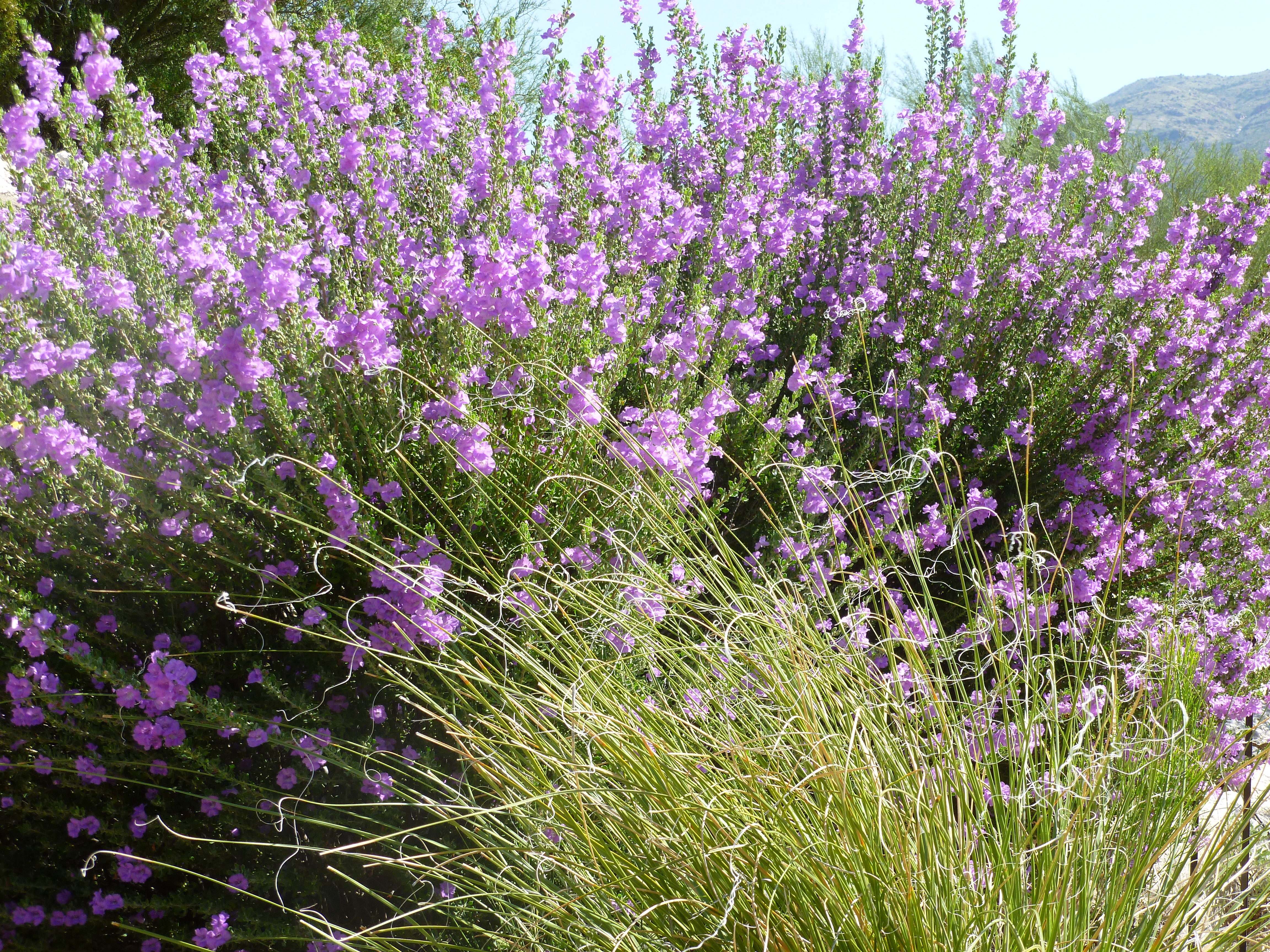 The gallery for Purple Flowering Shrub Identification