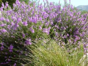 purple flowering shrub