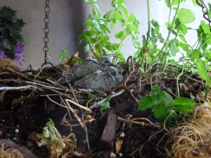 mourning doves 4 days old