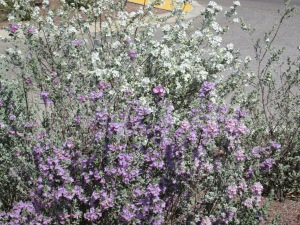 bushes shrubs with white flowers