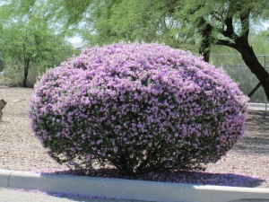 Phoenix shrubs with purple flowers