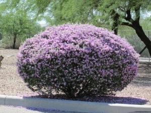 Phoenix shrubs with purple flowers