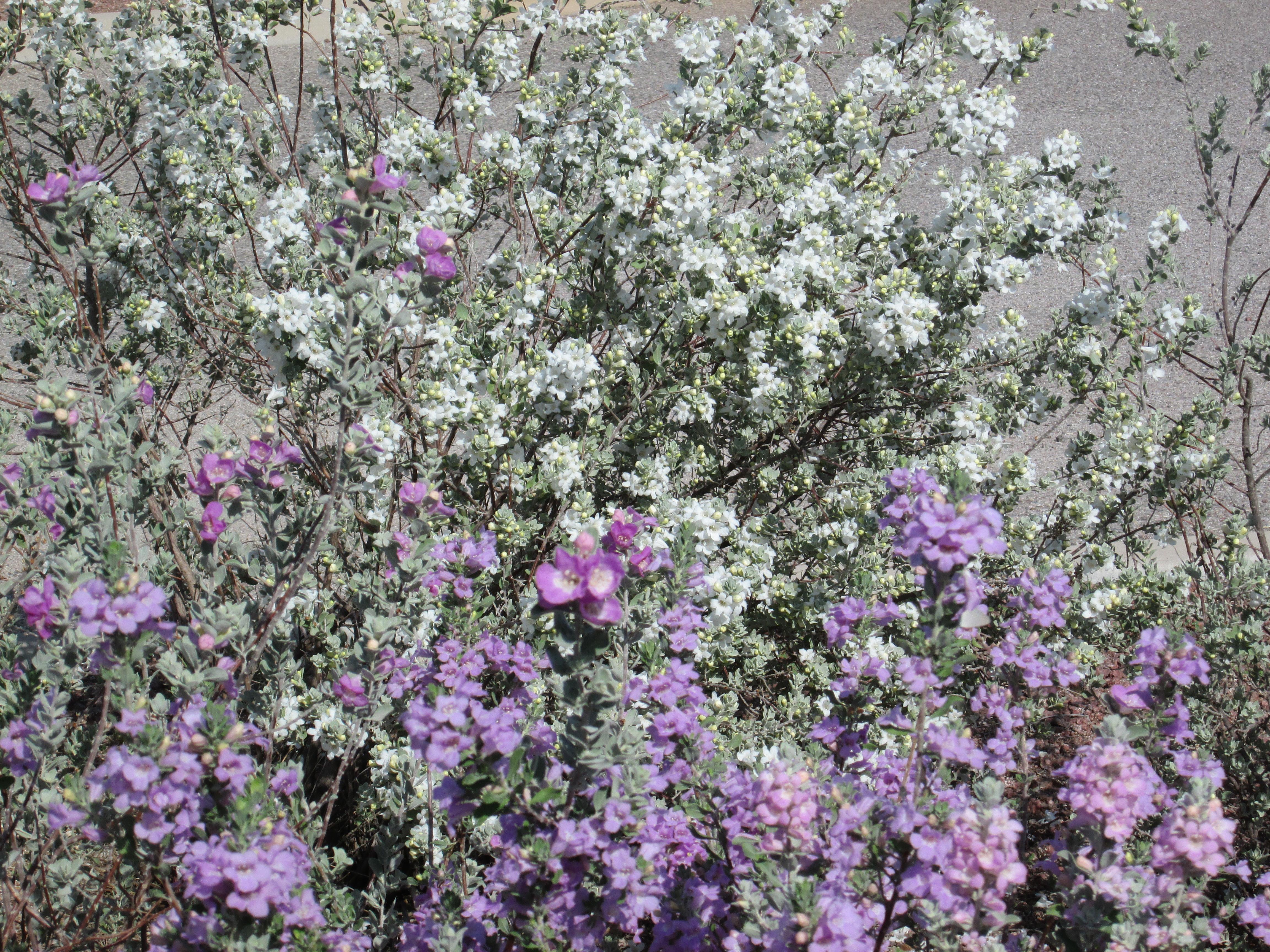 Purple Texas Sage Bush Tjs Garden