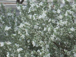 white cloud sage bush