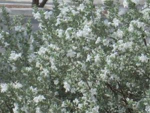 white cloud sage bush