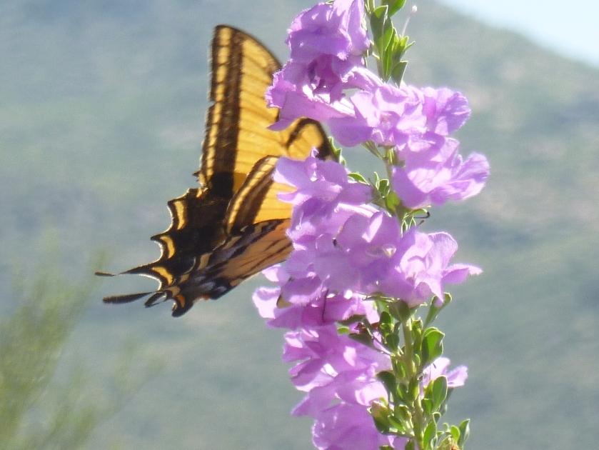 heat tolerant plant with purple flowers