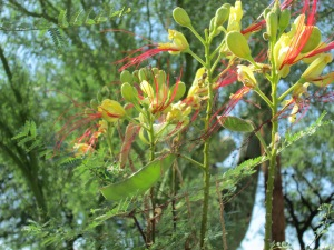 desert bush with red stamens, yellow flowers, bean pods