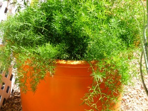 asparagus fern in arizona