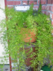 asparagus fern with berries