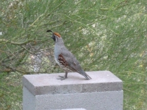 native desert birds of arizona