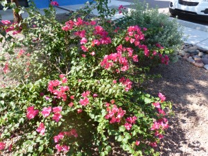Bougainvillea growing freely