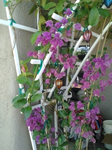 Bougainvillea growing up a trellis