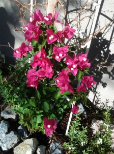 Bougainvillea in the ground