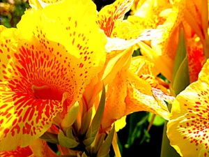 Canna lily flower