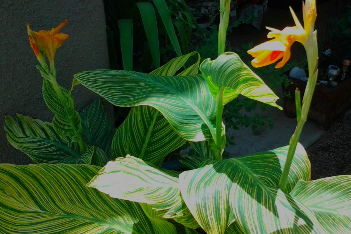 Canna Lily is my # 9 in the top Ten heat resistant plants