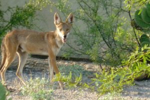 coyote in arizona desert