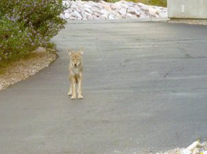 Coyote in our Arizona yard