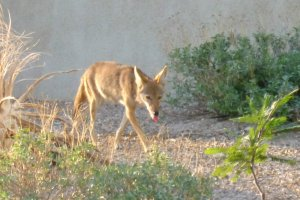 coyote in Tucson Arizona