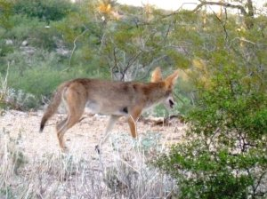 Coyote Phoenix Tucson Arizona