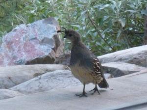 Arizona Phoenix Tucson Birds quail