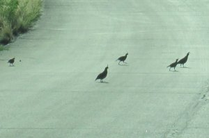 Gambel's quail family running across the street