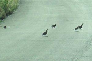 Gambel's quail family running across the street