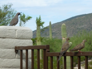 Gambel's quail keeping watch