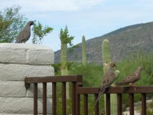 Gambel's quail keeping watch