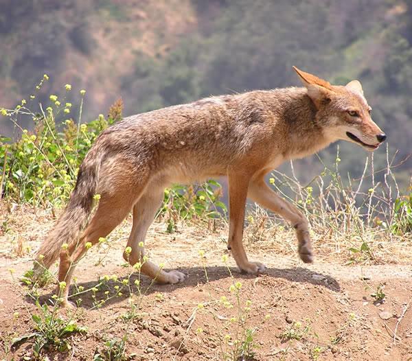 Praire Wolf – Arizona Coyotes – Species of Canine