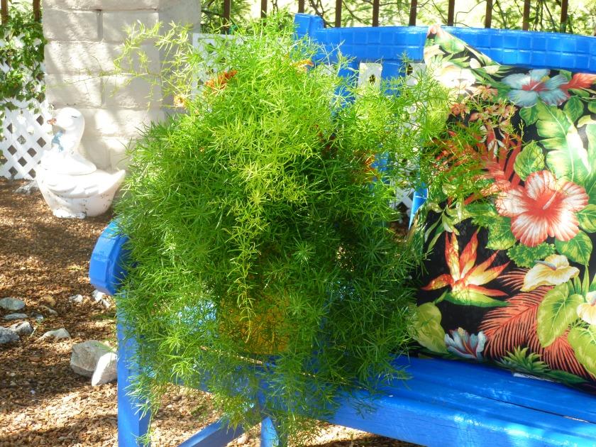 Arizona heat tolerant asparagus ferns in pots