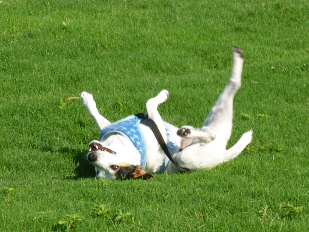 My dogs rolling in the grass! Labrador and Jack Russell
