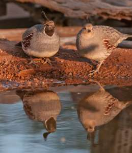 male female Gambel's Quail