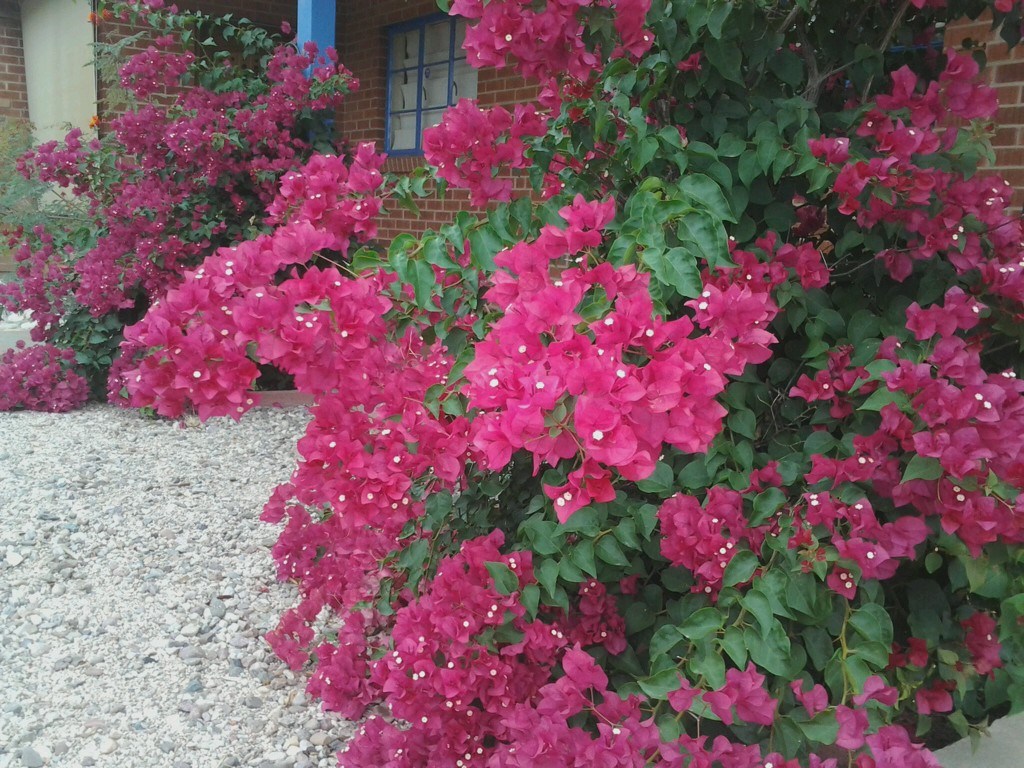 Bougainvillea bushes and vines in Arizona