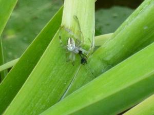 a baby orb weaver garden spider